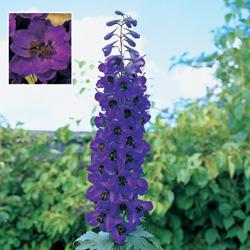 Delphinium x c. 'Tall Black Knight'