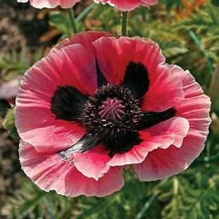 Baby Kiss Oriental Poppy Plant
