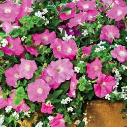 Petunia 'Silk N Satin Fuseables'