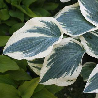 Blue Ivory Hosta Plant