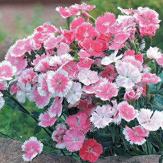 Dianthus Dulce™ White to Pink