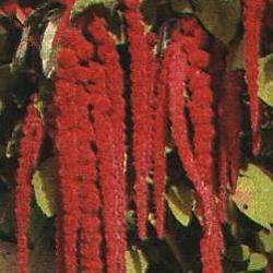 Amaranthus c 'Love Lies Bleeding'