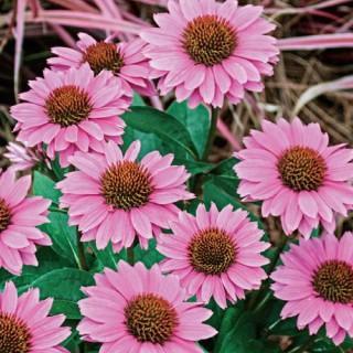 Gemini Pink Coneflower