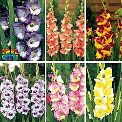 Rainbow Gladiolus Collection