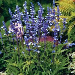 Salvia farinacea 'Fairy Queen'