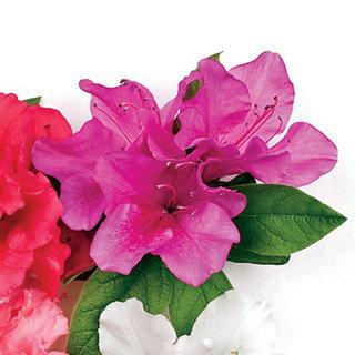 Bloom-a-Thon® Lavender Azalea Shrub