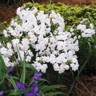 Minnie Pearl Phlox Plant