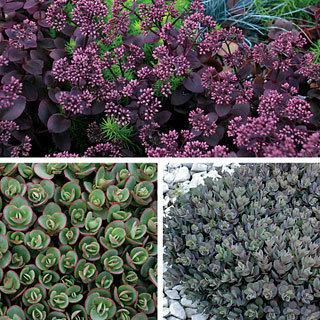 SunSparkler™ Collection Sedum Stonecrop Plant