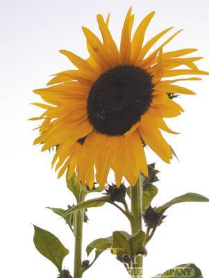 Sunflower-Kong