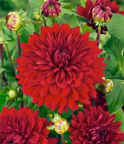 Garden Wonder Decorative Dahlia - 3 root divisions