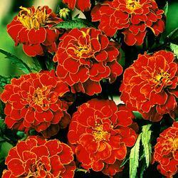 Marigold p.'Scarlet Sophie'