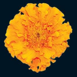 Orange Hawaii - Marigold, French