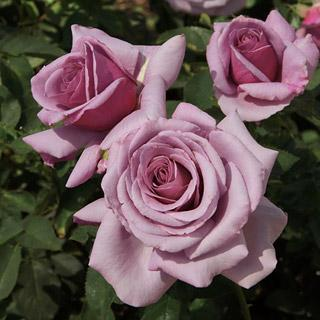 Sweetness 24-inch Patio Tree Rose