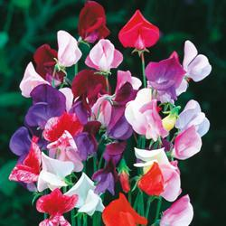 Sweet Pea g. 'Heirloom Mixed'