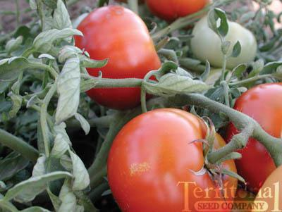 Silvery Fir Tree Tomato Organic