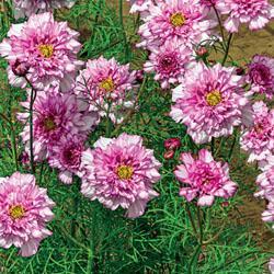 Cosmos bipinnatus 'Double Click Bicolour Pink'