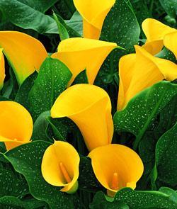 Golden Chalice Callafornia Calla® Calla Lily - 3 tubers