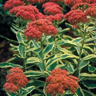 Autumn Charm™ Sedum Stonecrop Plant