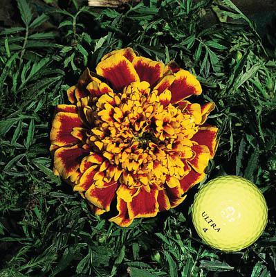 Marigold-Colossus