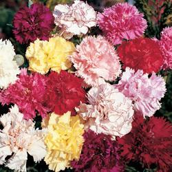 Carnations caryophyllus 'Giant Chabaud Mixed'
