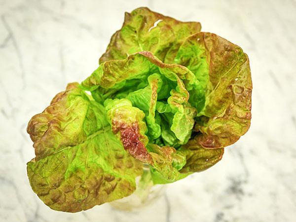 Merveille des Quatre Saisons Lettuce