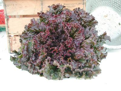 Red Sails Lettuce Conventional, Organic & Pelleted