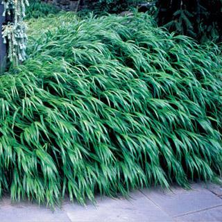 Hakonechloa macra Japanese Forest Grass Plant