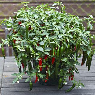 Pepper Cayennetta Hybrid