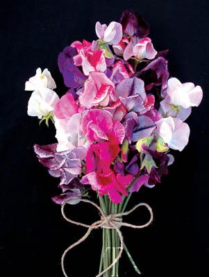 Sweet Pea-Unwins Striped (Butterfly Mix)