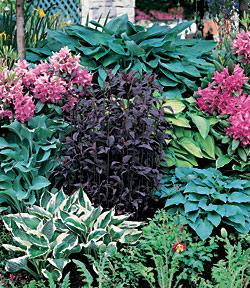 SOLD OUT Mixed Hosta - 5 root divisions