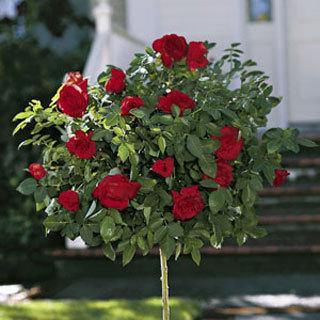 Black Cherry™ 24-inch Patio Tree Dark Red Rose