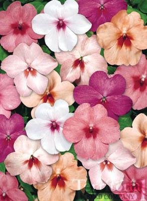 Impatiens-Tempo Butterfly Mix