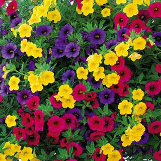 candy shop minifamous calibrachoa annual plant combination reviews. Black Bedroom Furniture Sets. Home Design Ideas