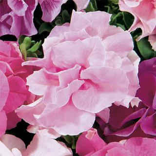 Petunia Double Cascade Soft Pink Hybrid