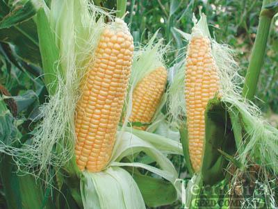 Precocious Corn