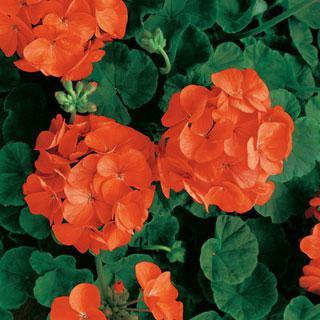 Geranium Orange Appeal Hybrid