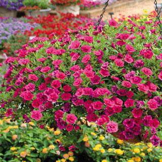 Calibrachoa MiniFamous™ Double Pink Evolution
