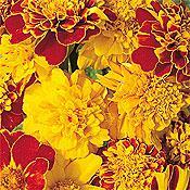 Double Pinwheel Mix Marigold