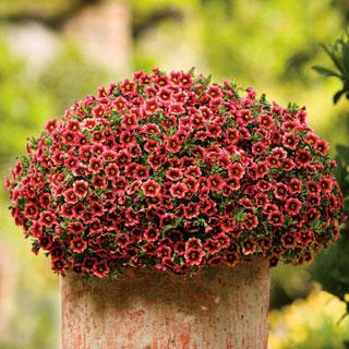 Calibrachoa Superbells® Coralberry Punch