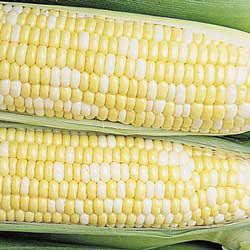 Quickie (se) Sweet Corn