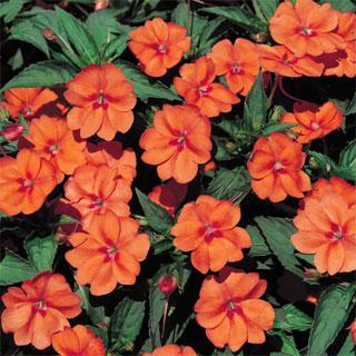 Impatiens Orange SunPatiens® Annual Plant