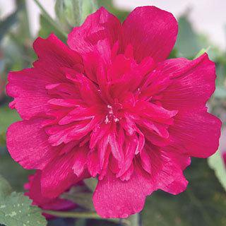 Hollyhock Spring Celebrities Carmine Rose
