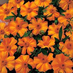 Marigold patula 'La Bamba'