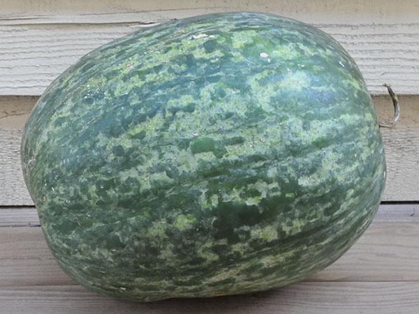 Scaly Bark Watermelon