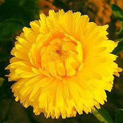 Calendula officinalis 'Chrysantha'