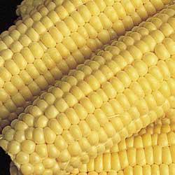 Bodacious (se) Sweet Corn