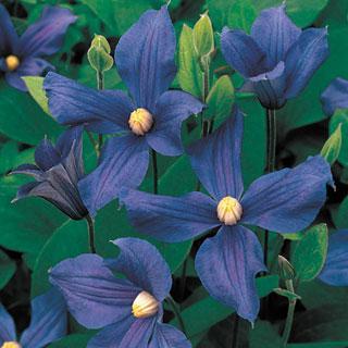 Clematis x durandii Clematis Plant