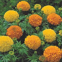 Inca II Mix Marigold