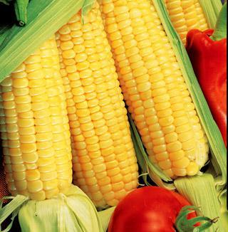 Corn Sugar Buns Hybrid