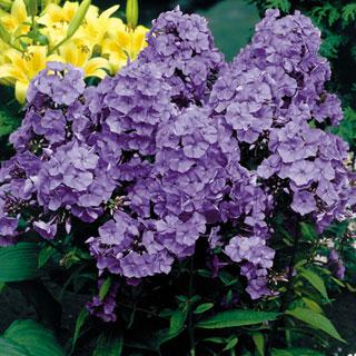 Blue Paradise Phlox Plant